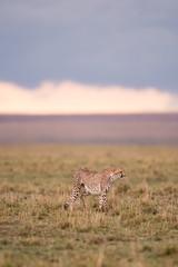 Cheetah in Masai Mara Game Reserve, Kenya