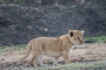 Lion cub in Masai Mara Wall mural