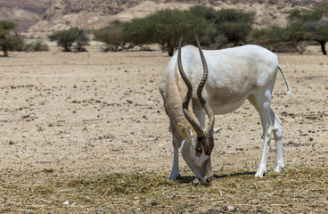 The antelope addax (Addax nasomaculatus)known as the screw-horn antelope. Due to danger of extinction the species was introduced from Sahara desert to nature desert reserve near Eilat, Israel