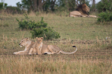 Lions in Masai Mara Game Reserve Wall mural