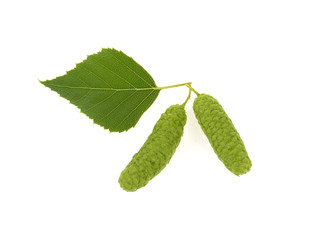 birch leaves and buds on a white background