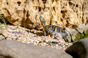 A young turtle climbed out of the lake and basks in the sun against the background of the rock. Close-up.