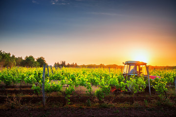 Wall Mural - Vines on the field and a red tractor at sunset