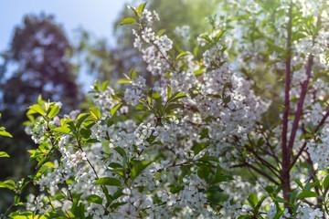 Flowering cherry tree.