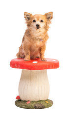 Long-haired chihuahua sitting on a big mushroom