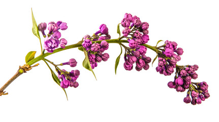 Garden Poster Lilac blossoming lilac with purple flowers. Isolated on white background