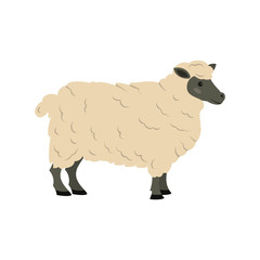 Cute sheep on white background.