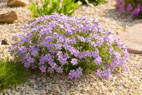 Purple creeping phlox, on the flowerbed. The ground cover is used in landscaping when creating alpine slides and rockeries