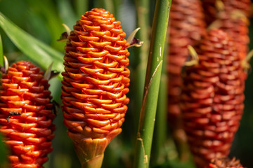 Close detail of an exotic orange ginger beehive flower blooming in a tropical garden