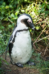 African penguin, also known as Black-Footed or Jackass Penguin, at Boulders Beach in Simon's Town, South Africa