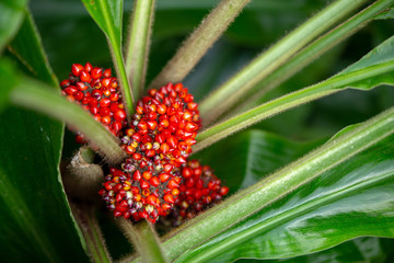 Bush of small red berries fruit of a tropical green plant