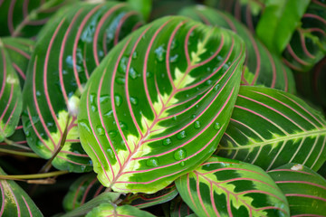Detail of a double green and pink vein leaf with small water drops