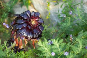 Aeonium graphic geometric purple flower