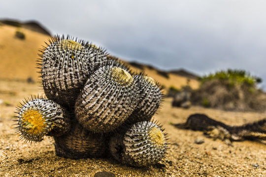 A Copiapoa Cactus inside Sugar Loaf National Park at Atacama Desert, Chile