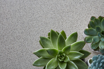 Top view of different types of Echeveria plants on a gray stone background