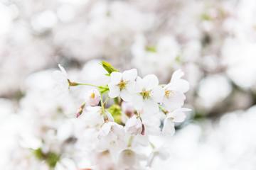 White Blossom Cherry Tree during Spring Season