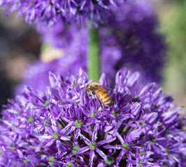 Close up of Honey Bee on Purple Allium Flowers
