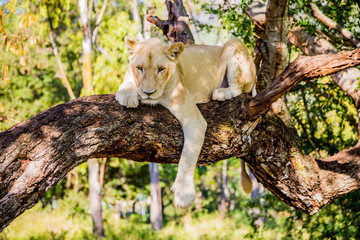 White lion sitting on a tree on Mauritius island, Casela park