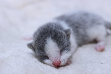 LITTLE GRAY NEWBORN KITTEN