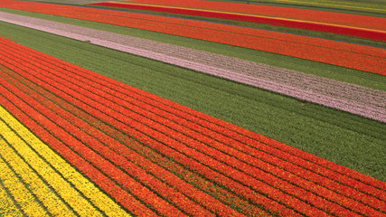 AERIAL: Flying above stunning colorful lush blooming tulips on big field