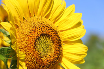 Beautiful summer nature background with sunflowers.  Sunflower in sunlight against blue sky close up. Shallow depth of field, focus on a seeds zone. Agriculture, agronomy and farming concept.