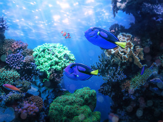 Foto op Textielframe Onder water Blue tang fishes and coral reef life. Background and graphic use