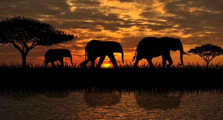 A family of elephants on a walk. Silhouettes of elephants on a sunset background