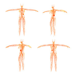 3D rendering illustration of the  lymphatic system