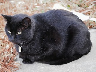 Black cat sitting Big black cat sitting in concrete yard with blurred brown grass in the background