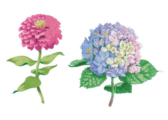 Beautiful gentle flowers isolated on white background. Hydrangea and zinnia. A large bud and inflorescence on a stem with green leaves. Botanical vector Illustration.