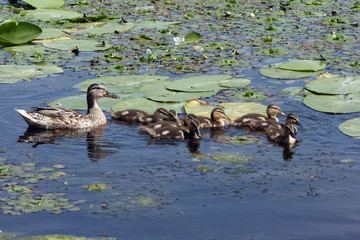 Duck with ducklings are floating in the overgrown pond