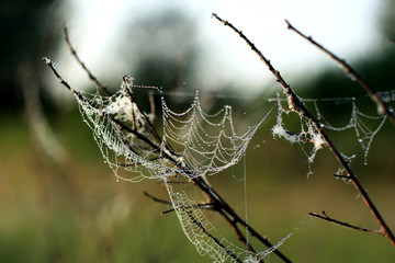 spider web with dew drops on the branches of trees