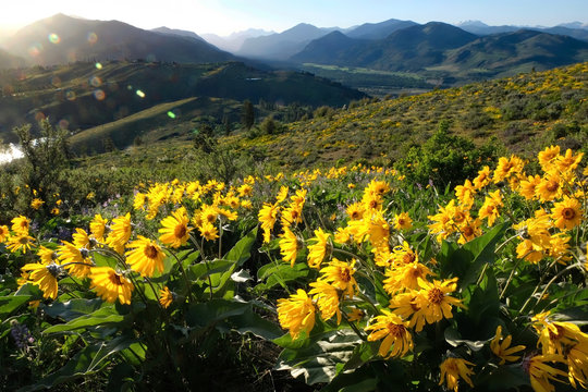 Arnica or Balsamroot flowers in beautiful  meadows.  Seattle. Washington. United States of America.