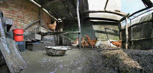 hens walk on a dirty floor in the henhouse