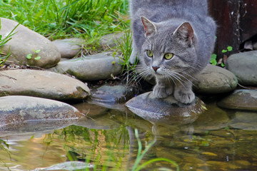 gray green-eyed cat stands on a stone by the stream and looks into the distance. Close-up