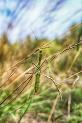 Silhouette of a green grasshopper on a blurred background of grass and sky