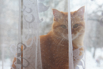 a ginger cat stands behind a window curtain and looks into the lens