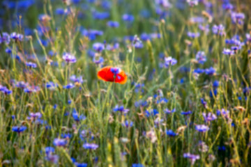 Blurred background: field with a lot of purple flowers and one red spot of another flower