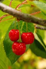 Ripe cherry fruit on a tree