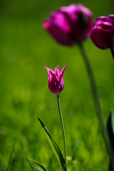 purple tulips with green leaves on a blurred nature background