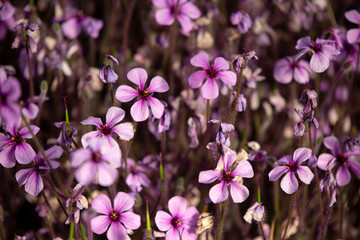 Close up of beautiful on the ground purple flower