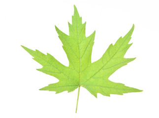Leaf of a maple