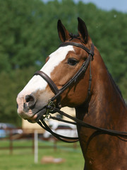 Horse In the Show Ring