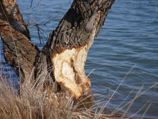 The remaining part of a tree left by a beaver by the side of a lake
