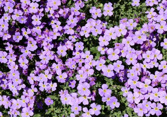 Blue Aubretia in Spring, Sea of Wonderful blue blossoms