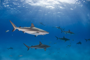 Caribbean reef shark in clear blue water with other sharks and the sun in the background