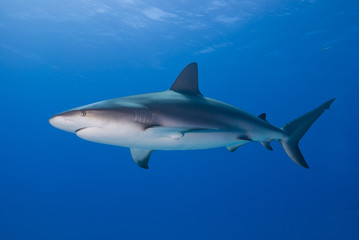 Caribbean reef shark from the side in clear blue water with sun in the background