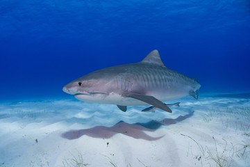 Tiger shark close to the ground in clear blue water and shadow in the sand