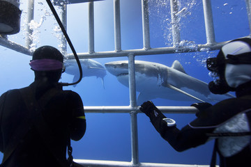 Great white sharks in clear blue water with scuba divers in a diving cage in the front