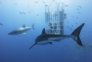 Great white sharks in front of a diving cage with scuba divers